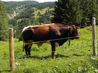 the alps bull