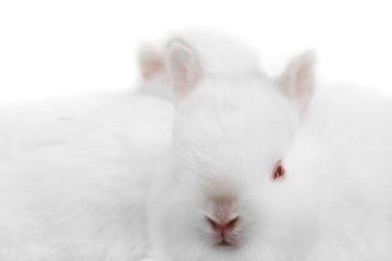minature rabbit