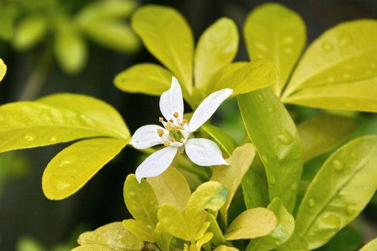flower on a choisya shrub