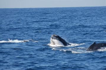 whale feeding session