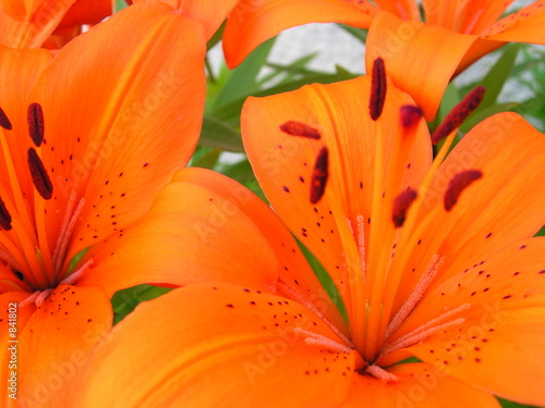 Fleur Orange De Lys Nain Stock Photo And Royalty Free Images On