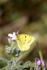 yellowspotted butterfly