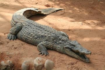 Türaufkleber Crocodile le crocodile