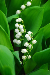 Fototapete - lily-of-the-valley closeup
