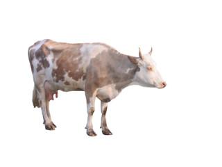 cow on white.