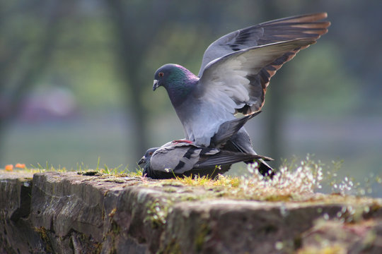 mating pigeons