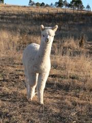 alpacas from cooredulla alpaca stud