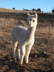 cooredulla australian alpacas
