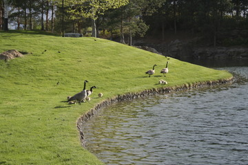 geese on shore