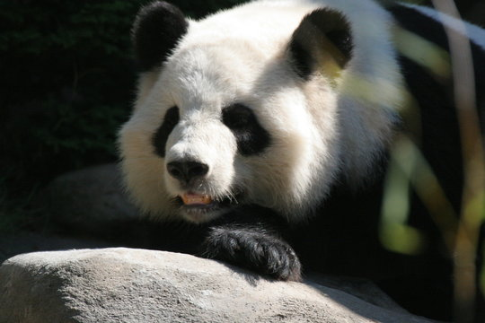 giant panda,panda,bear,mammal,animal,nature,black