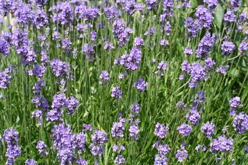 mooie natuurlijke lavendel