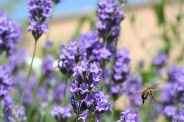 lavande avec abeille en plein vol