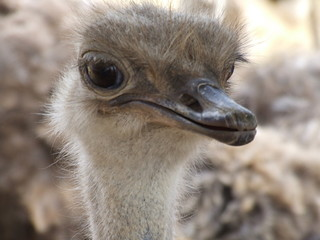 ostrich deep in thought