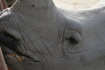 rhinoscerous,rhino,closeup,water  uffalo,mammal,an
