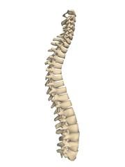 colonne vertébrale