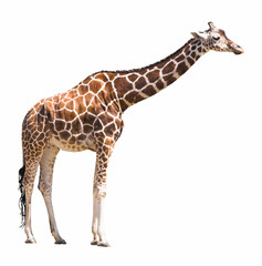 Photo sur Aluminium Girafe giraffe isolated on white background