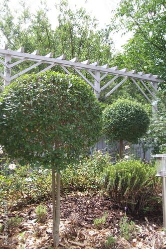 kugelbaum ligustrum vulgare stockfotos und lizenzfreie bilder auf bild 904493. Black Bedroom Furniture Sets. Home Design Ideas