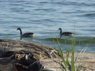 geese in backround