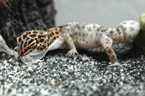 The Diablo Blanco Leopard Gecko Doesn T Need Uvb Lighting