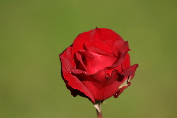 belle rose rouge