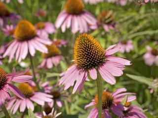 cone flower close-up