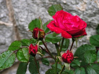 the rose and the stone (2)