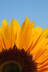 sunflower before the blue sky