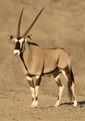 Photo sur Aluminium Antilope gemsbok antelope