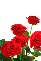 roses with copy space