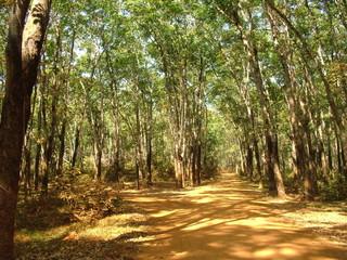 plantation d'heveas, cambodge