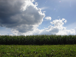 corn field and dramatic sky