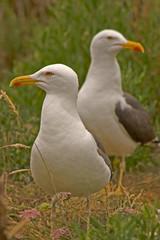 goéand argenté ; seagull