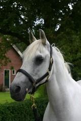 horse white head
