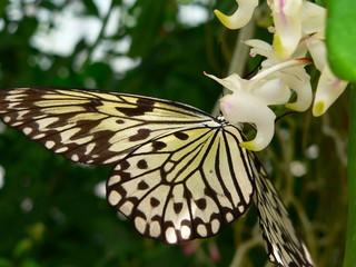 weiße baumnymphe an weißer orchidee