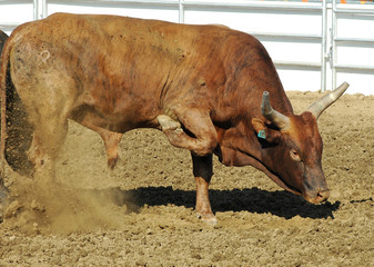 rodeo bull pawing the ground