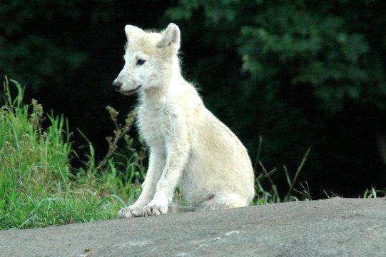 artic wolf cub