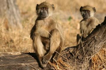 deux babouins