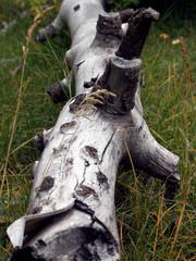 knotty log