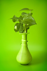 pothos plant on green