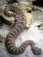 sand rattle snake
