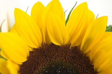 sunflower semicircle