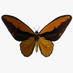 butterfly-birdwingy