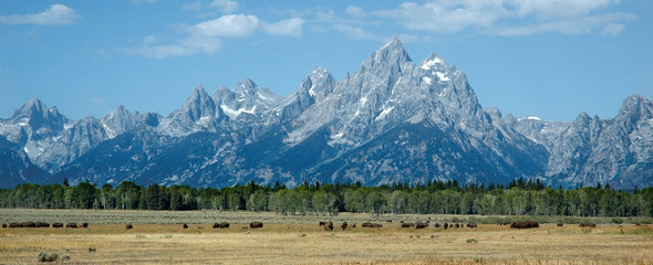 bisons in the grand tetons
