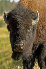 Printed kitchen splashbacks Bison american bison