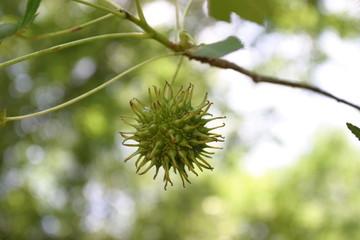sweetgum tree gumball