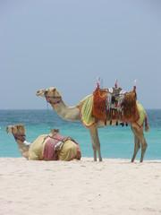 kamele am strand