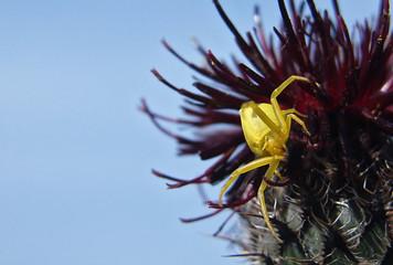 yellow spider