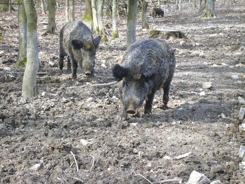 zwei wildschweine