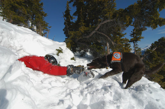 avalanche rescue dog pulling victim out
