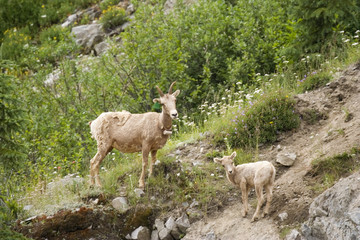 rocky mountain she-goat with a kid